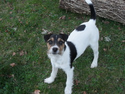 Isar, chien Jack Russell Terrier
