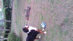 Isatis, chien Bouvier bernois