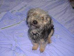 Isatis, chien Bichon havanais