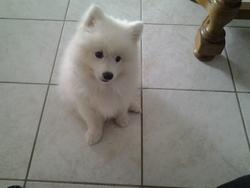 Isatis Des Blancs Flocons, chien Spitz japonais