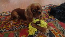 Isatis Du Puits Des Sortileges, chien Cavalier King Charles Spaniel