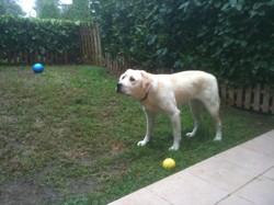 Isbelle, chien Labrador Retriever