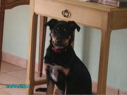 Ischka, chien Beauceron
