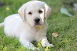 Ischon, chien Labrador Retriever