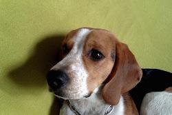 Isco, chien Beagle