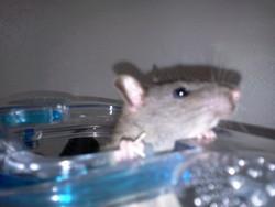 Isengrin, rongeur Rat