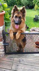 Iser, chien Berger allemand