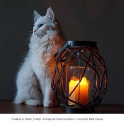 Iseult De La Mare Griseau, chat Norvégien