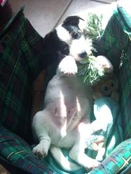 Isha, chien Jack Russell Terrier