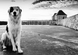 Isha, chien Border Collie