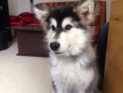 Isha, chien Malamute de l'Alaska