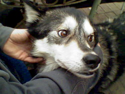 Ishab, chien Chien-loup tchèque