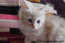 Isham De La Forêt Verte, chat Angora turc