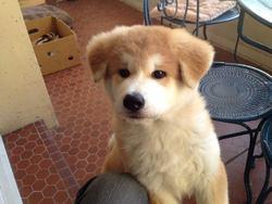 Ishiro, chien Akita Inu