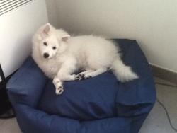 Ichiro, chien Spitz japonais