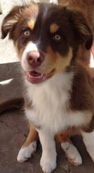 Ishka, chien Berger australien