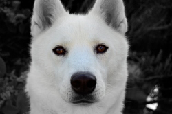 Ishka, chien Husky sibérien