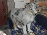 Ishka Bleue, chien Berger des Shetland