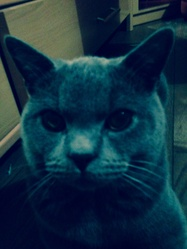 Isi D Or, chat Chartreux