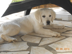 Isia, chien Golden Retriever
