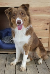 Isia, chien Berger australien