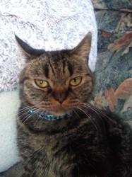 Isidor, chat Européen
