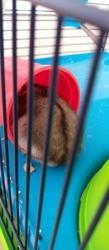 Isidor, rongeur Hamster