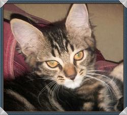 Isidore, chat Européen