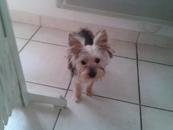 Isidore, chien Yorkshire Terrier