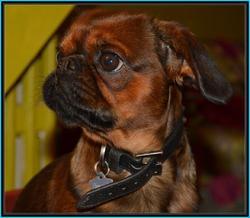 Isidore, chien Petit brabançon