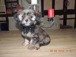 Isie, chien Shih Tzu