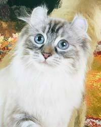 Isis, chat American Curl
