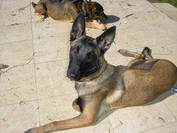 Isis, chien Berger belge