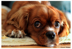 Isis, chien Cavalier King Charles Spaniel
