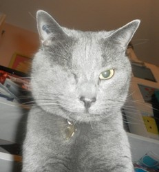 Isis, chat Chartreux