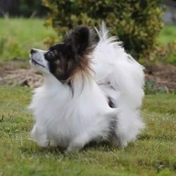 Isis, chien Épagneul nain continental