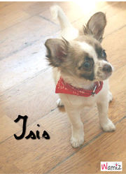 Isis, chien Chihuahua