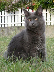 Isis, chat Maine Coon