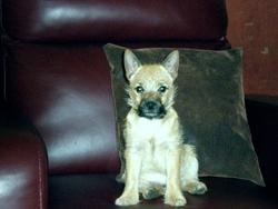 Isis, chien Cairn Terrier