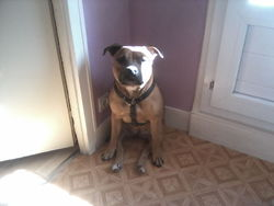 Isis, chien Staffordshire Bull Terrier