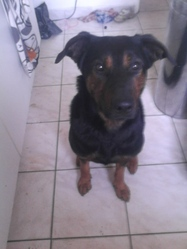 Isis, chien Beauceron
