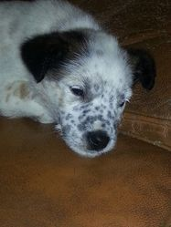 Isis, chien Jack Russell Terrier