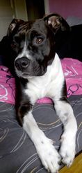 Isis, chien American Staffordshire Terrier