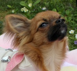 Isis, chien Chihuahua