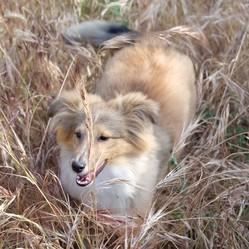 Isis, chien Berger des Shetland