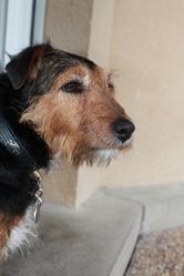 Isis, chien Jagdterrier