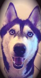 Isis, chien Husky sibérien