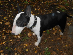 Isis  Adieux Ma Puce, chien Bull Terrier
