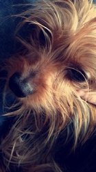 Isis, chien Yorkshire Terrier
