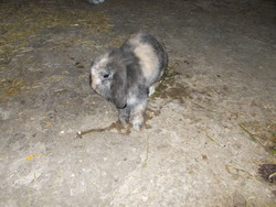 Isis, rongeur Lapin